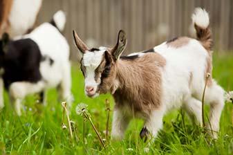 Klettergerüst Für Ziegen Bauen : Region lübecker bucht